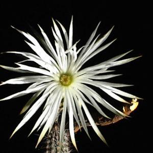 Echinopsis Mirabilis Seeds