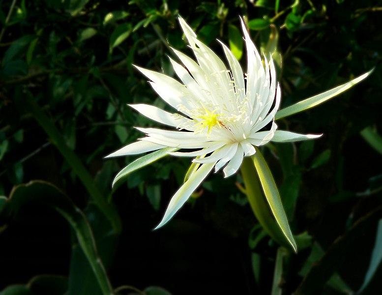 Epiphyllum hookeri.   Author: i_am_jim (Own work) width=
