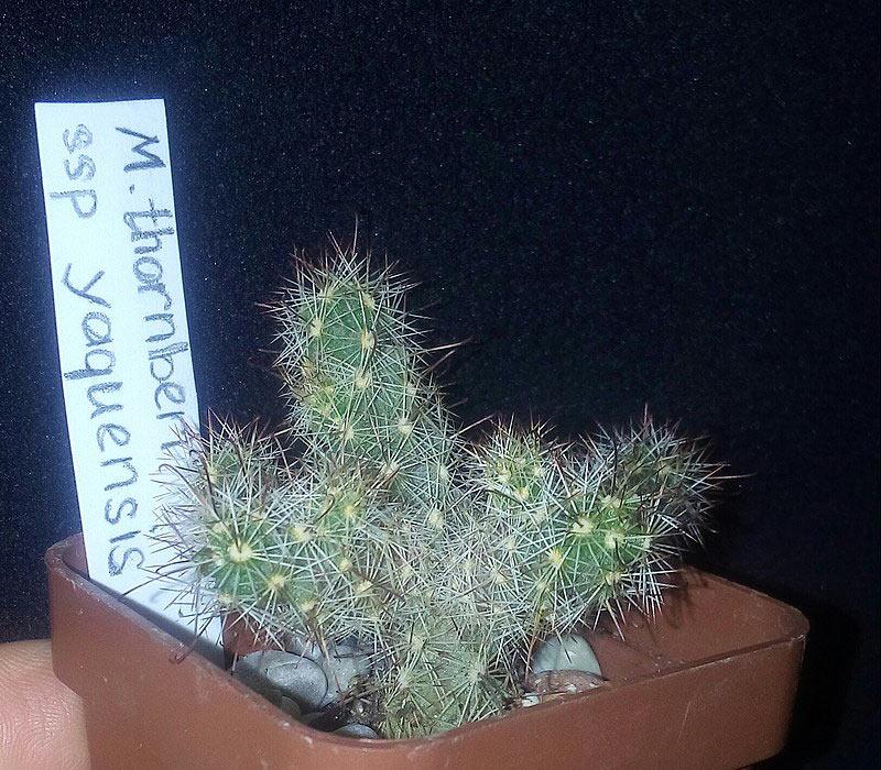 Mammillaria thornberi