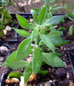 Pereskiopsis spathulata
